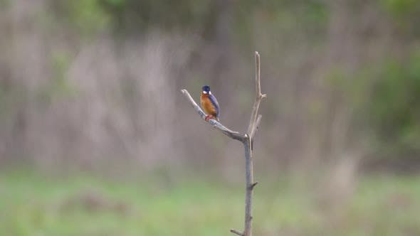 Thumbnail for Kingfisher on a branch