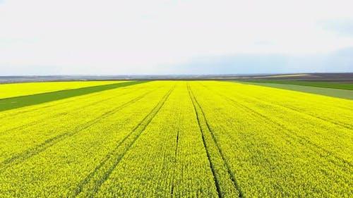 Yellow Rape Field Landscape During Daytime