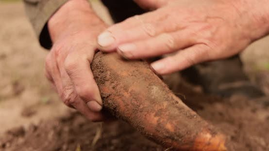 Farmer Inspects His Crop of Carrots Hands Stained with Earth