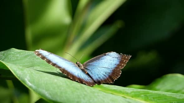 Thumbnail for Awesome Blue Tropical Butterfly Resting on a Leaf in the Forest in Slow Motion