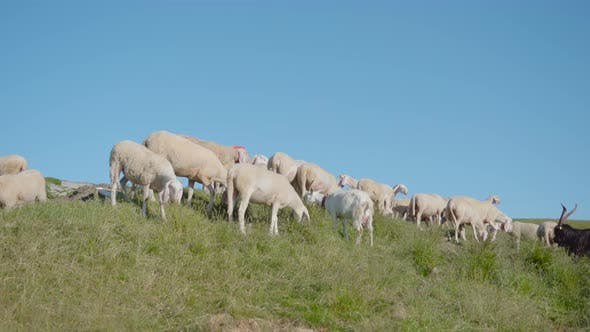 Sheep Eat Grass on the Green Meadow