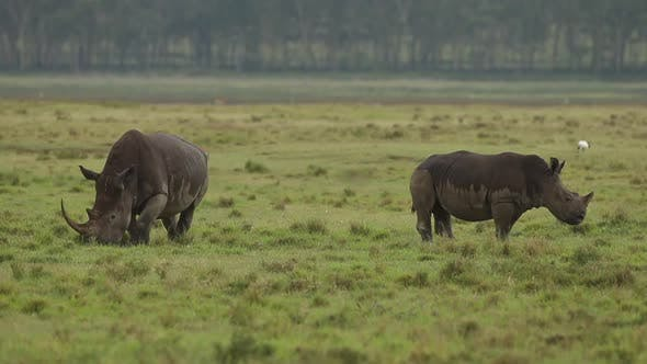 Thumbnail for Rhino Mother and Calf Grazing