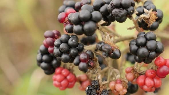 Thumbnail for Close-up of Rubus fruticosus fruit 4K 2160p 30fps UltraHD footage - Bush of wild European blackberry
