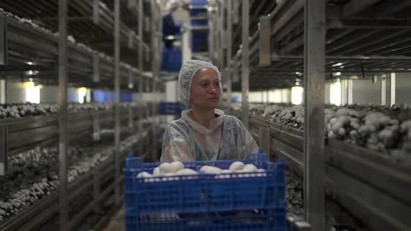 Mushroom Farm of Woman Harvesting Champignons Growing on Plantation at Agro Company Spbd