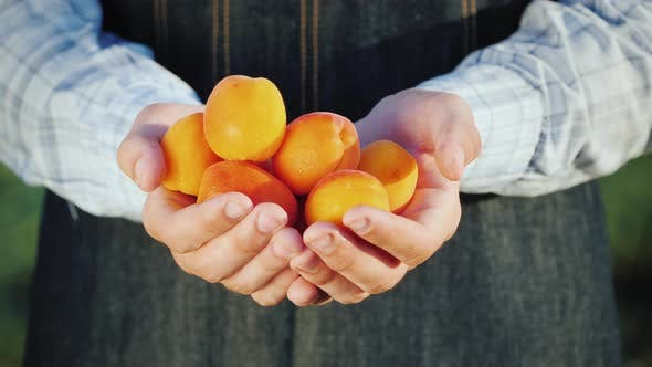 Farmer's Hands Hold Several Juicy Spelled Apricot