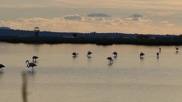 Thumbnail for Flamingos during sunset in a lake