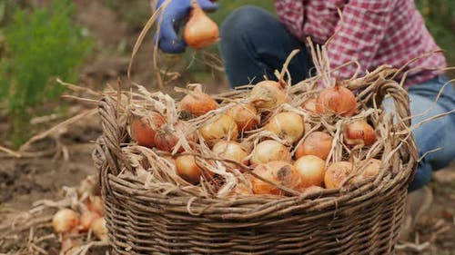 Yellow Onions Are Loaded Into a Wicker Basket