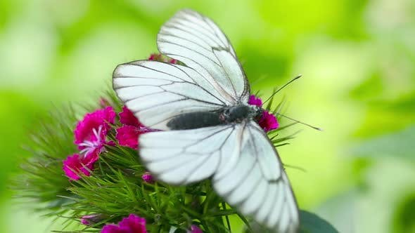 Thumbnail for Black Veined White Butterfly