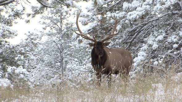 Thumbnail for Elk Bull Adult Lone Standing in Winter in South Dakota