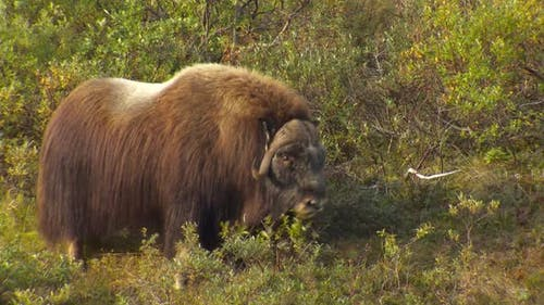 Musk Ox Bull Adult Lone Walking Moving in Autumn Browsing Eating Leaves