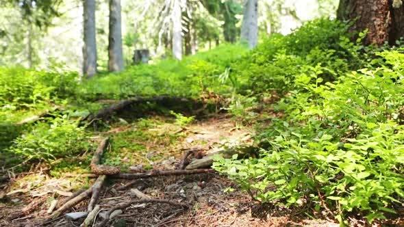 Thumbnail for Journée ensoleillée d'été dans la forêt sauvage du Nord