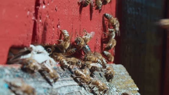 Thumbnail for Bees gathered at the entrance to the hive, the daily bustle of bees near their house