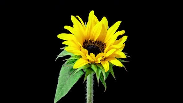 Thumbnail for Time Lapse of a Sunflower blooming.