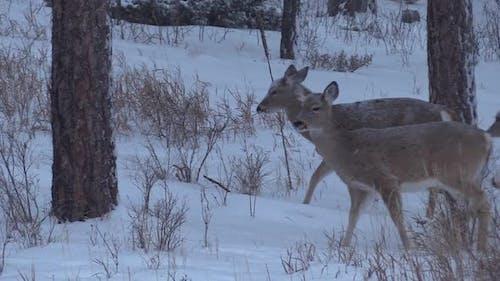 White-tailed Deer Doe Alarmed Spooked Frightened Running Fleeing Winter
