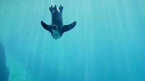 Fütterung von Tieren, Pinguin essen Futter Unterwasser im Ozeanarium