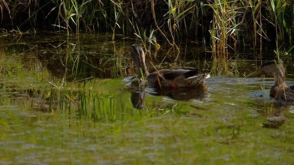 Thumbnail for Mallard Duck Diving
