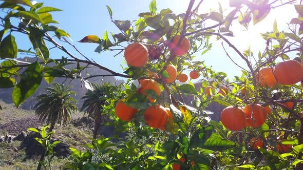 Thumbnail for Panning Shot of Ripe Oranges in the Middle of Valley on a Windy Day