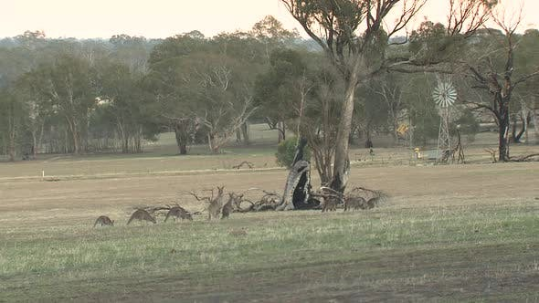 Eastern Grey Kangaroo Adult Immature Several Standing Walking Windmill