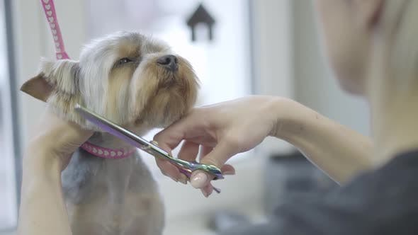 Thumbnail for Young Professional Pet Groomer Making To Fluffy Little Cute Dog Haircut with Scissors on Muzzle