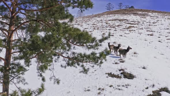 Three Curious Wild Marals on the Mountainside