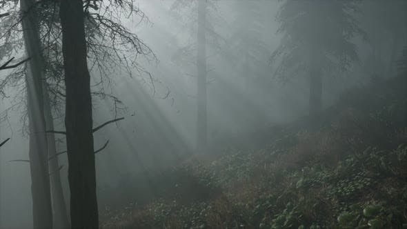 Thumbnail for Coniferous Forest Backlit By the Fising Sun on a Misty