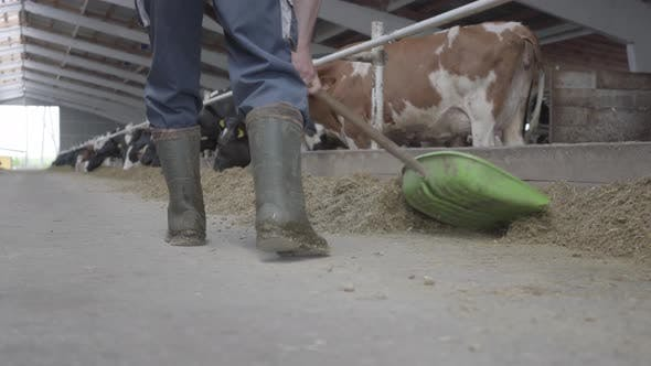 Thumbnail for Legs of Unrecognizable Man in Rubber Boots on the Cow Farm Shoveling Hay To Cows Close-up