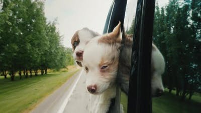 Three Funny Puppies Peek Out the Car Window, Traveling Dogs
