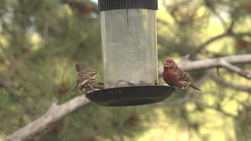 House Finch Male Female Adult Pair Eating Feeding in Summer Bird Feeder Birdfeeder Sunflower Seeds