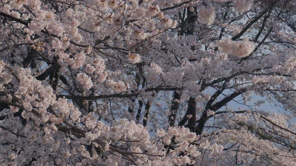 Thumbnail for Kirschblüte weht auf dem Wind
