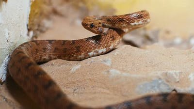 Scary viper snake lying in a rock, preparing to attack.