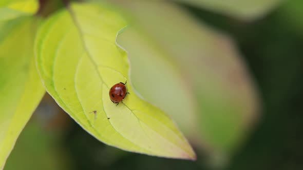 Thumbnail for Red Ladybugs on Green Yellow Leaves