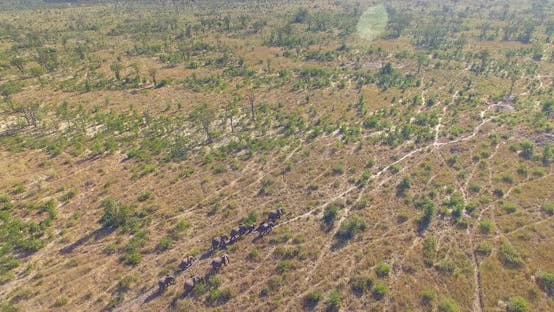 Aerial drone view of a herd of elephants wild animals in a safari in Africa plains