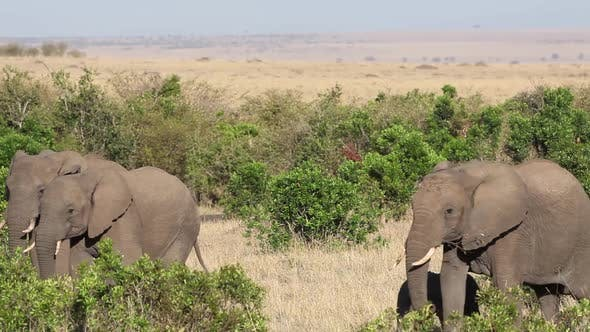 Thumbnail for Elephant Herd in Thick Bush