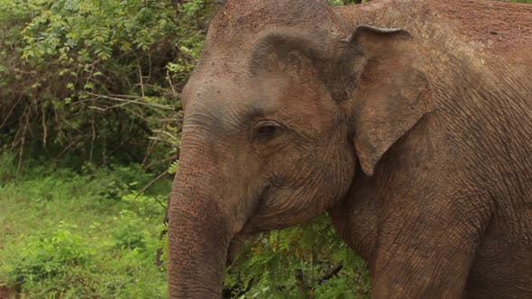 Thumbnail for Animals of Sri Lanka. Elephant in the Jungle. Close-up.
