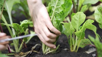 Hands Picking a Cabbage in Vegetable Gardenor Salad