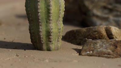 Close Up of Saguaro Cactus at the Sand