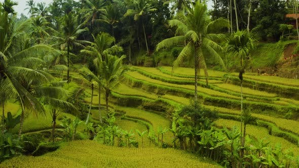 Aerial shot of the lush green rice paddies of Bali