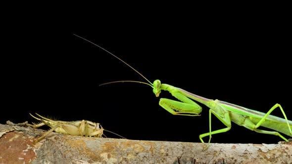 Thumbnail for Praying Mantis Hunting Cricket