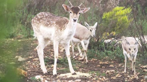 Female Dama and Gazelles