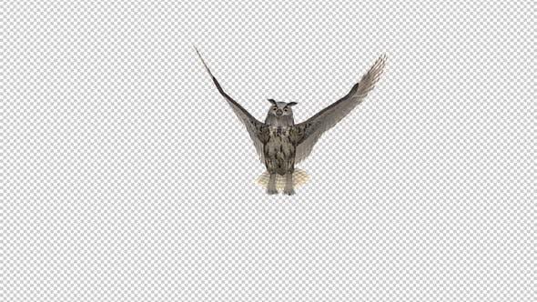 Owl - Horned - Flying Transition II