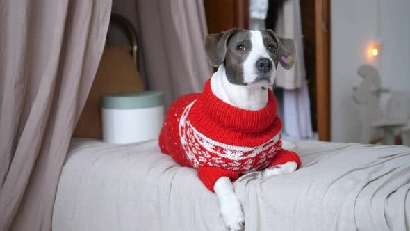 Front View of Funny Puppy in Knit Sweater with Present Box on Single Bed with Drapes