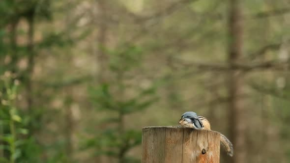 Thumbnail for Closeup of a Chipmunk and a Small Bird Eating Seeds Sitting on a Stump in the Forest Slow Motion