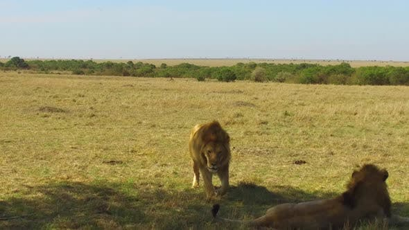 Thumbnail for Young Lion Walking and Resting in Savannah at Africa