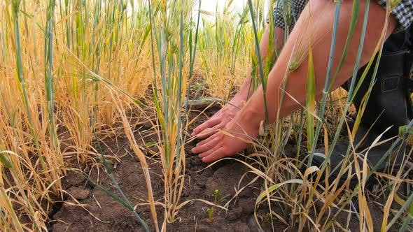 Male Hands of Farmer Touching Dry Ground Around Stalks of Wheat at Meadow