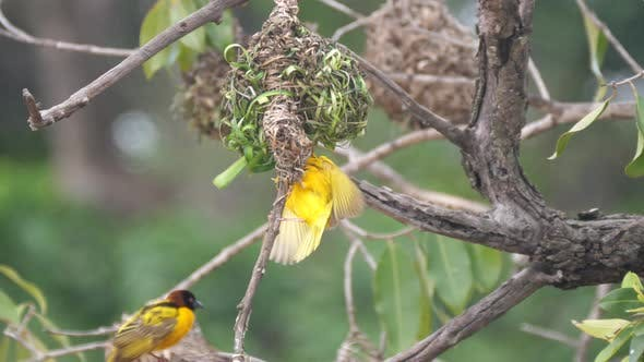 Male weaver bird flying around his nest