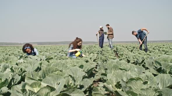 Thumbnail for Young Farmers Working on Cabbage Field