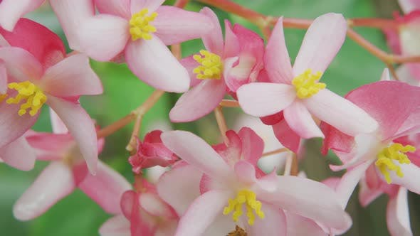 Thumbnail for Pink Begonia flowers growing in Hawaii