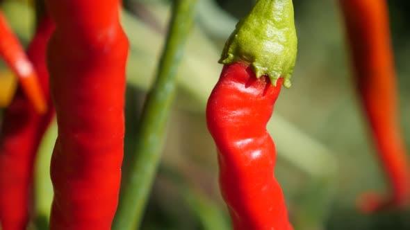 Fresh red hot peppers on vines 4K 2160p 30fps UltraHD tilt footage -  Red hot vegetable capsicum pep