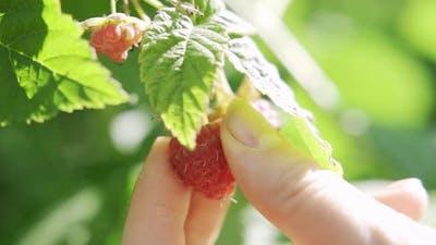 Collect Raspberries in the Garden