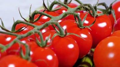 Fresh Tomato Harvest Authentic Organic Farming